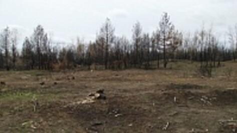 В Воронежской области расчистят 350 гектаров лесных горельников