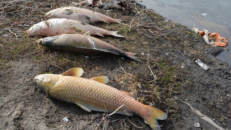 В пруду нижнедевицкого села погибла рыба