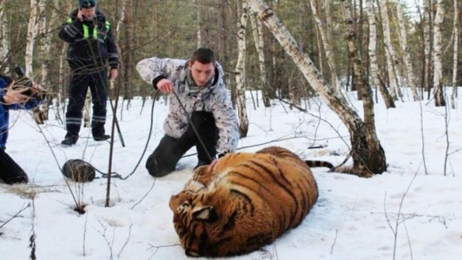 Побег тигра в Воронеже