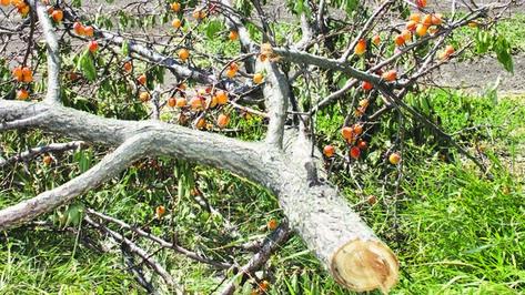 В Богучарском районе вандал с ножовкой погубил плодоносящие абрикосовые деревья
