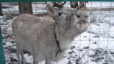 В воронежском зоопитомнике «Червленый Яр» поселили самку северного оленя
