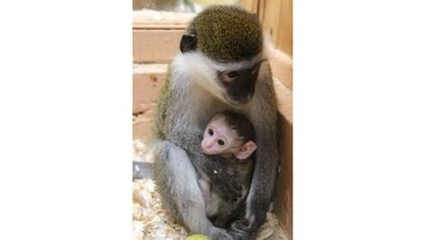 В Воронежском зоопарке у зеленых мартышек родился детеныш