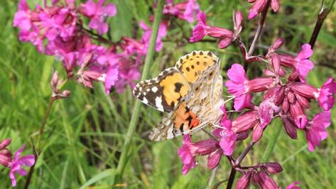 В Воронежскую область бабочки прилетели на месяц раньше срока