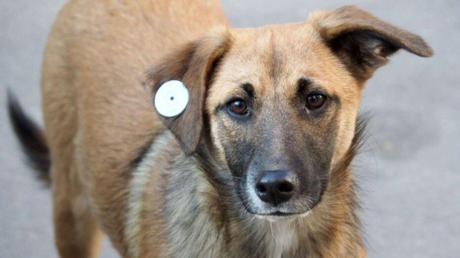 Зоозащитники предложили обязать воронежцев к внедрению чипов домашним собакам