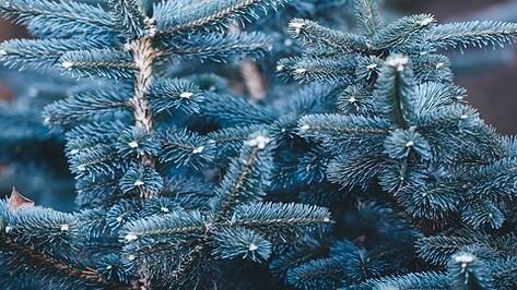 Служебная собака Лида помогла раскрыть кражу елки у жительницы Воронежа