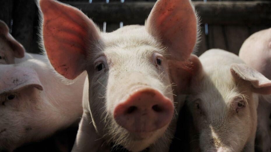 В Воробьевском районе Воронежской области открылся свиноводческий комплекс