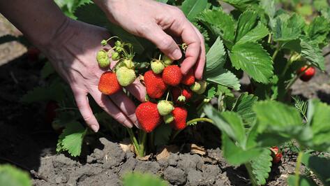 Воронежцы посадят «Ягодный сад»