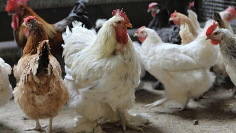 Ветеринары запланировали проверить воронежские птицефабрики из-за птичьего гриппа