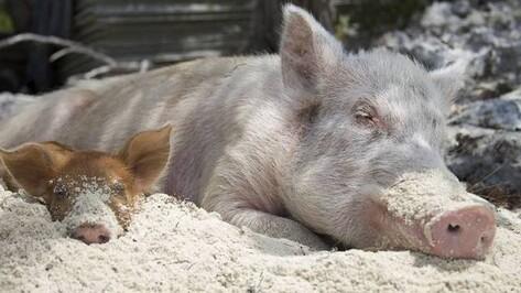 Жители грибановского села жалуются на купающихся в реке свиней