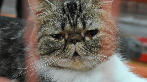 ТРЦ «Московский проспект» закроет передвижную выставку кошек в Воронеже досрочно