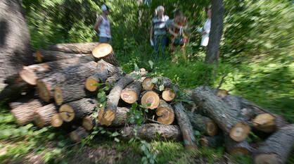 Топорная работа. Почему вырубают дубы в воронежском жилом массиве «Задонье»