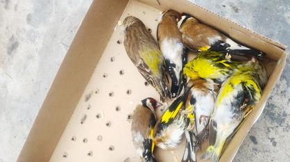 О состоянии изъятых у торговцев-браконьеров «благовещенских» птиц рассказали в Воронеже