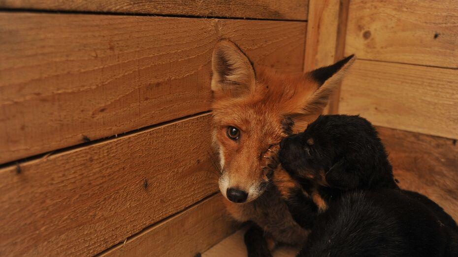 В воронежском приюте для собак лиса заменила щенкам мать