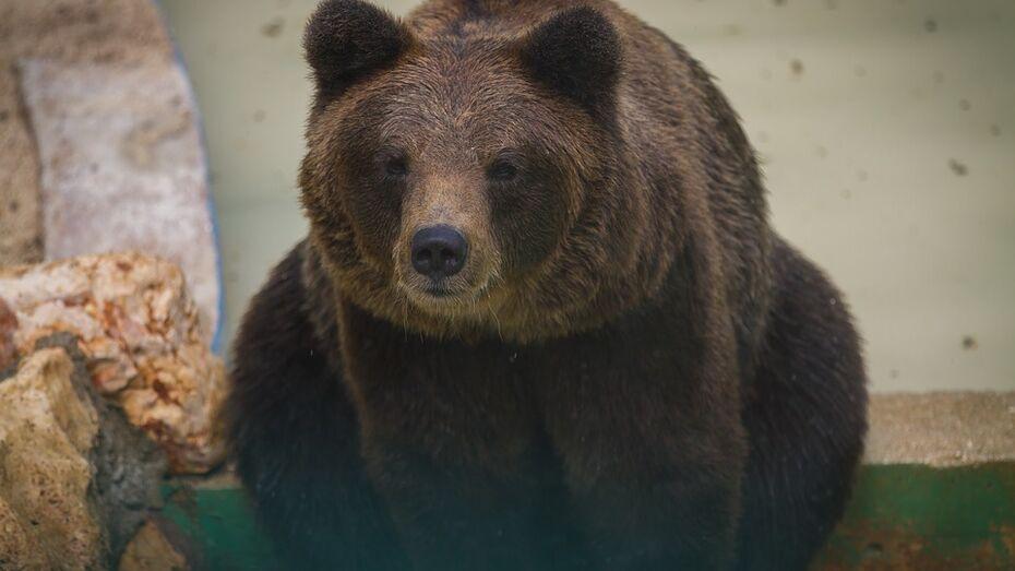Житель Воронежской области привез на автостоянку клетку с медведицей