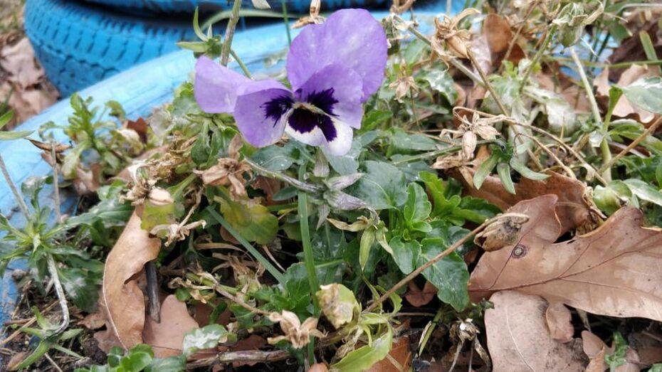 В садах жителей Поворино осенью зацвели малина и цветы