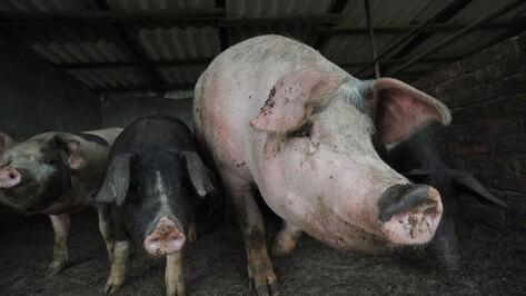 Чиновники попросили Воронежский облсуд ускорить дело о ликвидации свиней в АЧС-зоне