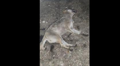Задушившего волчицу жителя Воронежской области госпитализировали