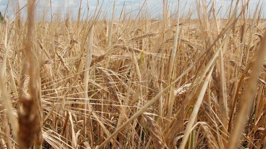 Воронежские аграрии планируют в 2016 году собрать 3,5 млн т зерна