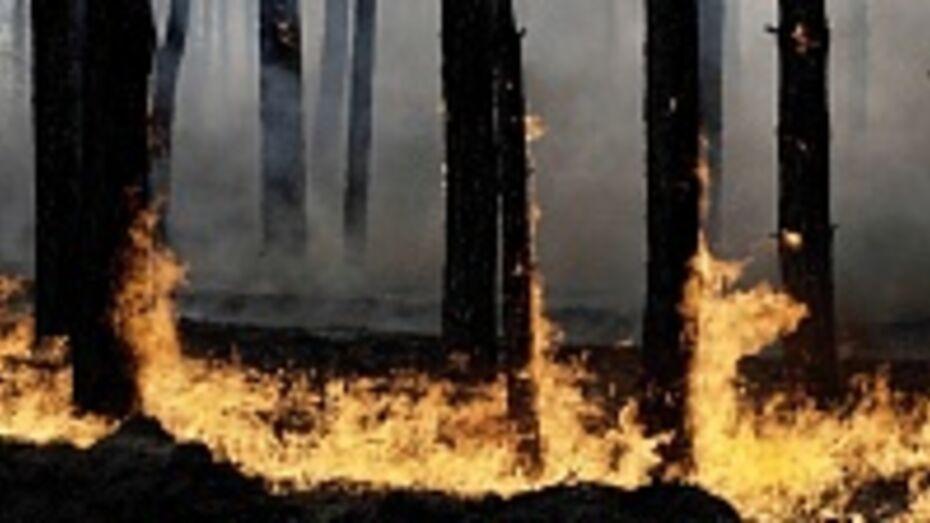 В Хохольском районе из-за поджога едва не выгорел участок, засаженный молодыми соснами