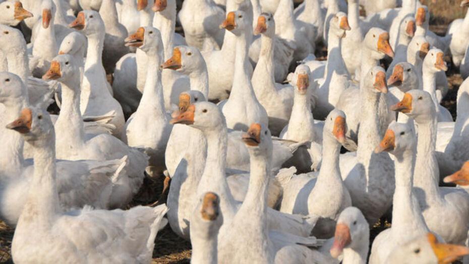 Разъяренные гуси напали на жителя Землянска