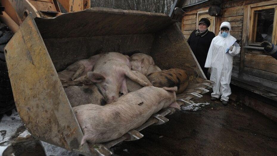 В Воронежской области началось уничтожение свиней во втором очаге АЧС
