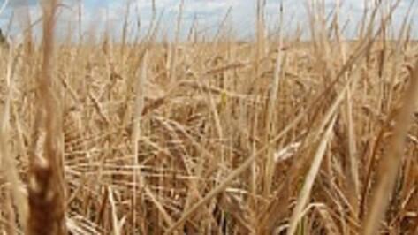 В Таловском районе намолотили 40 тысяч тонн пшеницы