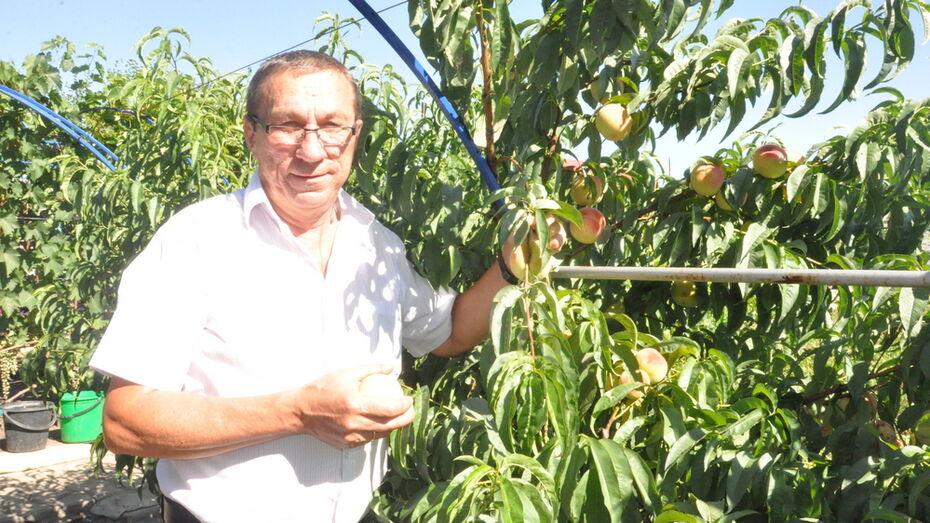 Житель Репьевки вырастил на своем участке 15 сортов персиков и нектаринов