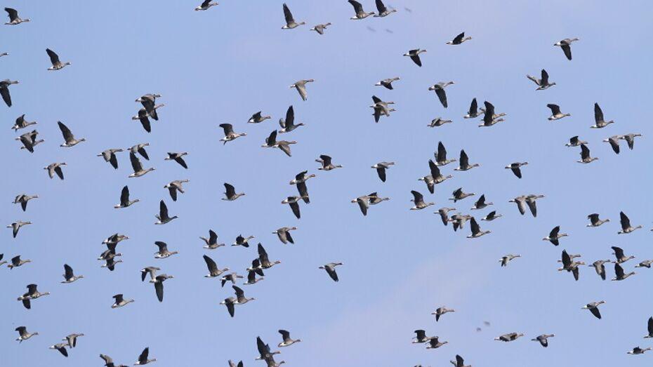 В Воронежском заповеднике сфотографировали стаю диких гусей
