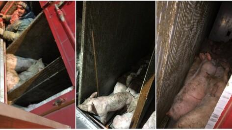 Фуру в Воронеже опрокинули свиньи