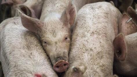 В cемилукский свинокомплекс завезли первых животных