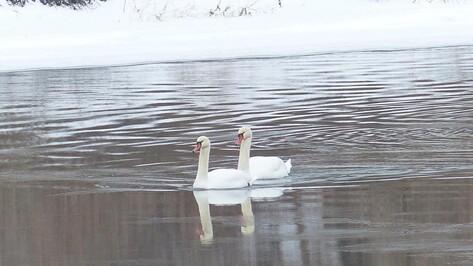 В Россошанском районе пара лебедей осталась на зимовку