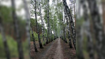 Воронежцы пожаловались на вырубку березовой аллеи в 2 км в Отрожке