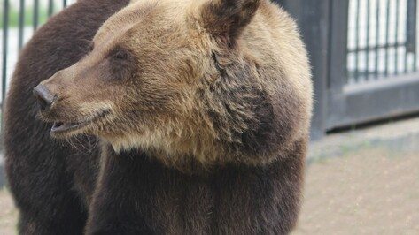 В Воронежском зоопарке медведи проснулись от спячки