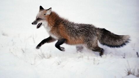 В Острогожском районе открыли охоту на пушного зверя после ликвидации очага АЧС