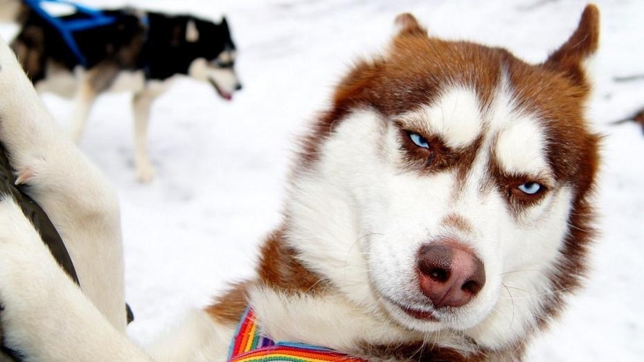 Воронежские зоозащитники попросили помощи у хозяев породистых собак