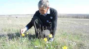 В Богучарском районе расцвели занесенные в Красную книгу реликтовые тюльпаны