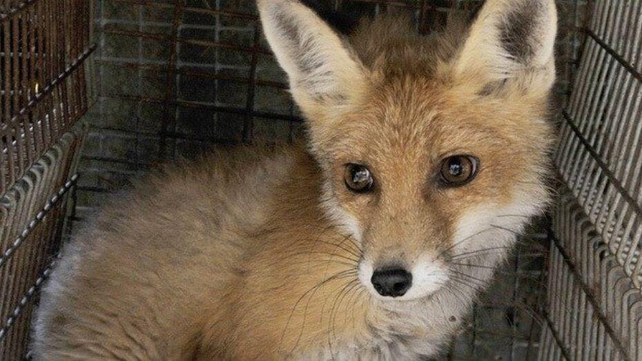 В Грибановском районе домашняя собака заразилась бешенством от лисицы