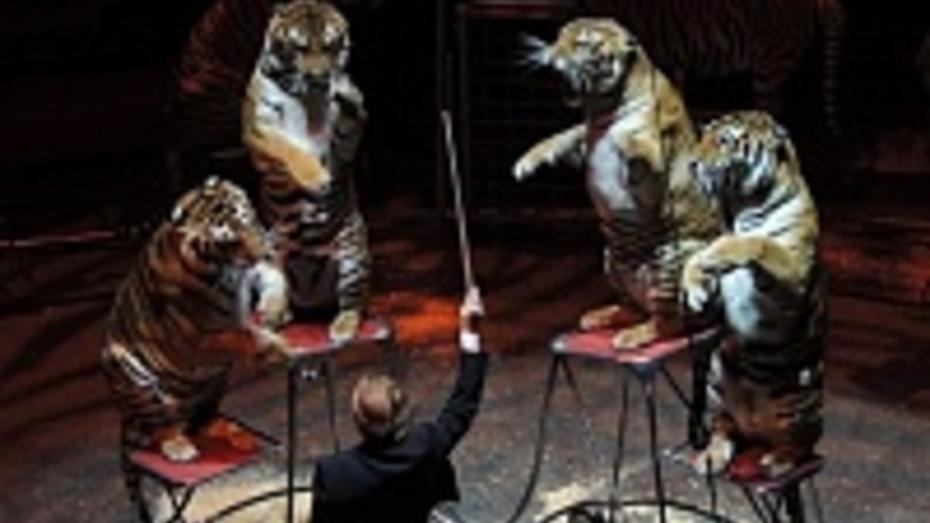 В Воронеж приедет уникальный тигриный «оркестр»