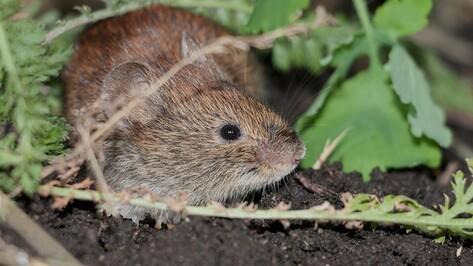 В Воронежском заповеднике пересчитали мышей