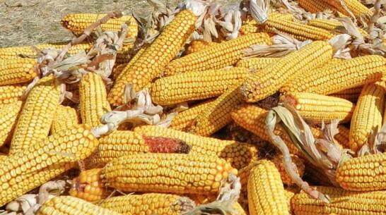 Панинец обманул краснодарского предпринимателя на продаже кукурузы на 300 тыс рублей