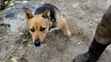 Трехлапый пес Тоша помог собрать для воронежского приюта «Дора» 20 тыс   рублей