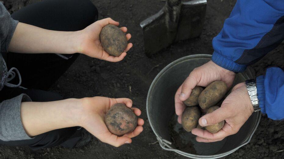 Старательные воры выкопали и украли картошку в Воронежской области