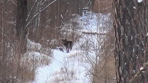 О встрече с волком рассказал сотрудник воронежского заповедника
