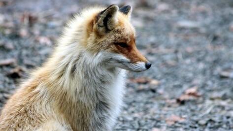 Департамент природных ресурсов объяснил ситуацию с выдачей разрешений на охоту на лис
