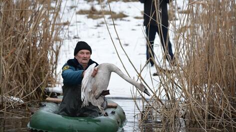 Богучарцы спасли раненого лебедя
