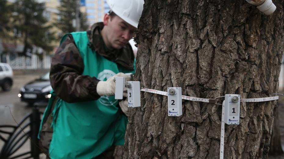 Воронежские экологи обследовали растущие на улице Кольцовской деревья