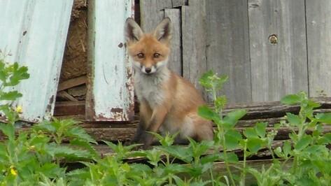 Власти Воронежской области поручили экологам снизить численность лис в регионе
