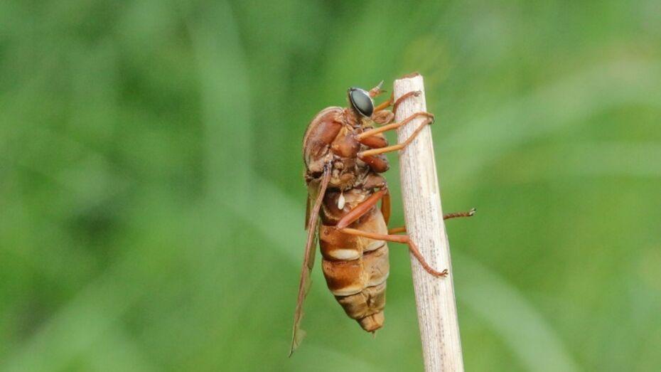 Ученый нашел самую крупную муху Воронежского заповедника
