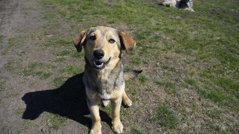 Предприниматель вместо стерилизации пойманных в Воронеже собак выпустил их в другом городе
