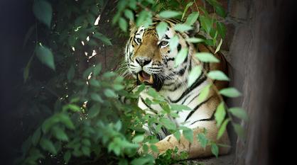 Амурский тигр в Воронежском зоопарке переехал в новое жилье